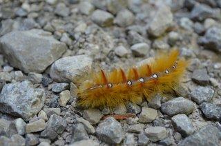 Raupe der Ahorneule - Ahorneule, Falter, Nachtfalter, Schmetterling, Raupe, Verwandlung