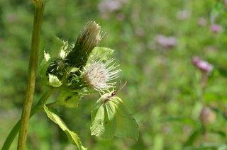 Schmetterling Zitronenfalter - Schmetterling, Falter, Edelfalter, Zitronenfalter, grün, Tarnung