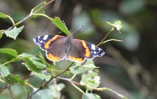 Admiral #1 - Schmetterling, Falter, Tagfalter, Edelfalter, Nymphalidae, Vanessa atalanta