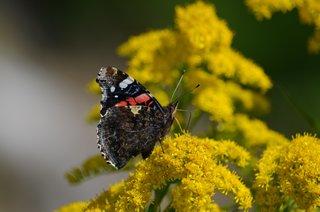 Admiral #2 - Schmetterling, Falter, Tagfalter, Edelfalter, Nymphalidae, Vanessa atalanta