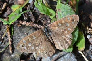 abgeflogenes Waldbrettspiel - Schmetterling, Falter, Edelfalter, Nymphalidae, Pararge aegeria, Tagfalter, Augenfalter, Satyridae, alt