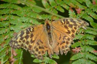 abgeflogener Kaisermantel - Schmetterling, Kaisermantel, Tagfalter, Edelfalter, Nymphalidae, Falter, Argymnis paphia, alt