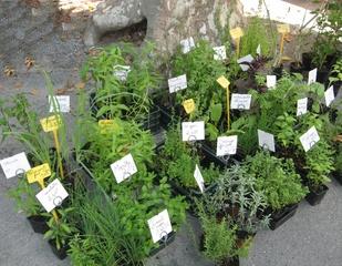 Provencalischer Markt, Kräuter - Markt, Kräuter, Küchenkräuter, Wildpflanzen, Gewürz