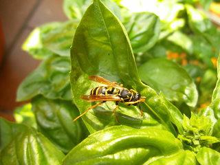 Wespe auf  Basilikum#1 - Insekt, Insekten, Wespe, Körperteile, Flügel, Fühler, Beine, Wespentaille, Detail