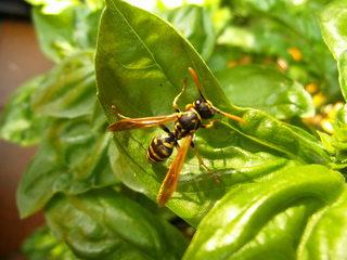 Wespe auf Basilikum#2 - Insekt, Insekten, Wespe, Körperteile, Flügel, Fühler, Beine, Wespentaille, Detail