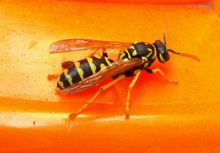 Wespe - Insekt, Insekten, Wespe, Körperteile, Flügel, Fühler, Beine, Wespentaille, Detail