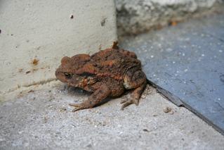 Kröte #1 - Biologie, Tiere, Kröte, Frosch, wechselwarme Tiere, Amphibie, wechselwarm, hüpfen, feucht, glitschig, erdfarben, Märchen, Feuchtraumgebiet, Teich, Umweltschutz