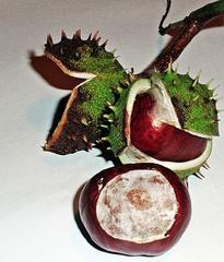 Kastanie #1 - Kastanie, Frucht, braun, Laubbaum, Kern, stachlig