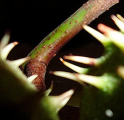 Kastanie #2 Ausschnitt - Kastanie, Baum, Frucht, Rätsel, Detail, stachlig, Hülle