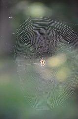Spinnennetz mit Spinne - Spinne, Netz, Spinnennetz, Rad