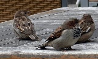 drei wartende Spatzen - Sperling, Sperlinge, Spatzen, Spatz, Vogel, Vögel, sitzen, Haussperling, fliegen, hüpfen, Schnabel, Auge, Federn, zwei, Laut sp, Plural, Einzahl, Mehrzahl, Singular