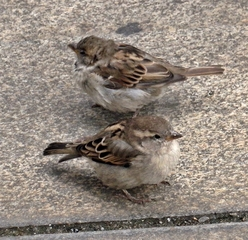 zwei Spatzen - Sperling, Sperlinge, Spatzen, Spatz, Vogel, Vögel, sitzen, Haussperling, fliegen, hüpfen, Schnabel, Auge, Federn, zwei, Laut sp, Plural, Einzahl, Mehrzahl, Singular