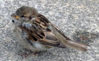 Spatz - Sperling, Spatz, Vogel, sitzen, Haussperling, fliegen, hüpfen, Schnabel, Auge, Federn