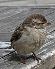 sitzender Sperling - Sperling, Spatz, Vogel, sitzen, Haussperling, fliegen, hüpfen, Schnabel, Auge, Federn