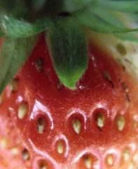 Detailaufnahme einer Erdbeere - Erdbeere, rot, Obst, Erdbeere, Blütenpflanze, Frucht, Sammelnussfrucht, fragaria ananassa, Rosengewächs, Gartenerdbeere