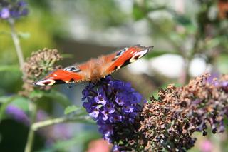 Pfauenauge auf Schmetterlingsflieder - Biologie, Pflanzen, Blüten, Schmetterlingsflieder, Schmetterling, Pfauenauge, Rüssel, saugen, blau, bunt, Insekt