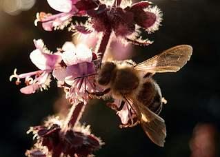 sammelnde Biene  - Biene, Insekt, Hautflügler, sammeln, Rüssel