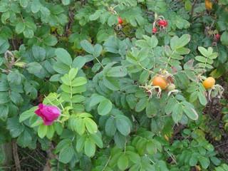 Heckenrose - Hecke, Heckenrose, Wildrose, Strauch, Rosenart, Hagebutte, Sammelfrucht, rot, orange, Juckpulver, Blüte, Frucht, Herbst
