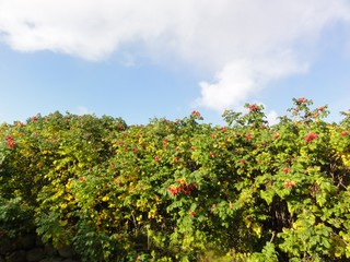 Heckenrose2 - Hecke, Heckenrose, Wildrose, Strauch, Rosenart, Hagebutte, Sammelfrucht, rot, orange, Juckpulver, Blüte, Frucht, Herbst