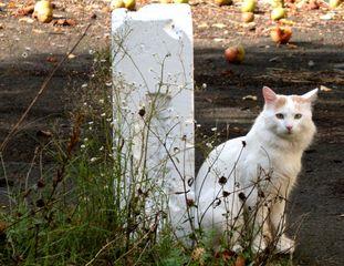 Katze #2 - Katze, Hauskatze, weiss, Haustier, Pose, posieren, sitzen