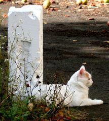 Katze #3 - Katze, Hauskatze, weiss, Pose, posieren, liegend, Haustier, Profil