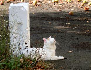 Katze #4 - Katze, Hauskatze, Haustier, weiss, Pose, posieren, liegen, räckeln, gähnen