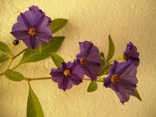 Enzianstrauch - Enzianstrauch, blauer Kartoffelstrauch, Blauer Nachtschatten, Nachtschattengewächs, Gartenpflanze, Zierpflanze