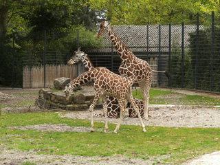 Giraffen - Wildtier, Zootier, Savanne, Gehege, groß, Paarhufer, Wiederkäuer, Pflanzenfresser, Afrika, Giraffe, Netzgiraffe, Afrika, Paarhufer, Tarnung, Muster, Camouflage