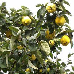 Reife Quitten - Quitte, Quitten, reif, gelb, quittengelb, Kernobst, Frucht, Marmelade