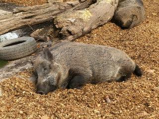 Wildschwein#1 - Wildschwein, Wild, Schwein, Tier, Paarhufer, Säugetier, Borsten, Wildtier, Schwarzwild, Allesfresser, Paarhufer, Jagdwild, ruhen