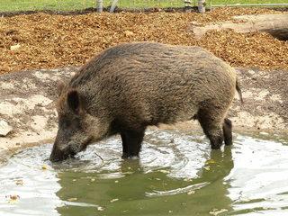 Wildschwein#2 - Wildschwein, Wild, Schwein, Tier, Paarhufer, Säugetier, Borsten, Wildtier, Schwarzwild, Allesfresser, Paarhufer, Jagdwild, Wasserloch, suhlen, trinken