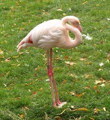 Flamingo - Flamingo, Vögel, Kubaflamingo, Hals, Schnabel, rosa