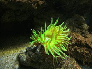 Seeanemone - Seeanemone, Seerosen, Seenelken, Aktinien, Nesseltier, Blumentier