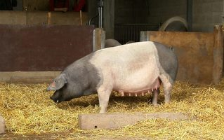 Schwäbisch-Hällisches Landschwein - Schwäbisch-Hällisches Landschwein, Hällisch-Fränkisches Landschwein, Mohrenköpfle, Hausschweinrasse, Hausschwein, Schwein, Sau