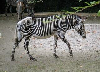 Zebra - Zebra, Streifen, Tarnung, Afrika, Steppe, Camouflage
