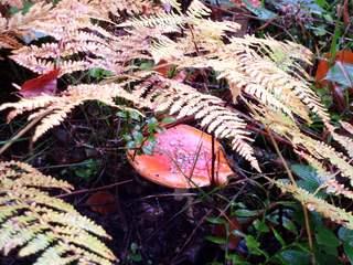 Herbstimpression mit Farn und Fliegenpilz - Fliegenpilz, Giftpilz, Giftpflanze, Herbst, Pilz, giftig, ungenießbar, Boden, Waldboden, amanita muscaria, Glück, Rauschmittel, Symbol, Droge, Ständerpilz, Farbe, Farbspiel, Wald, Farn, Wurmfarn, Herbst, Ansicht, Jahreszeit