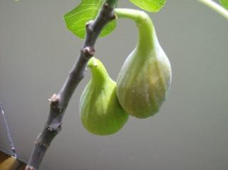 Feigen am Ast - Feige, Feigen, Ast, Blätter, Früchte, Maulbeergewächs, Bedecktsamer