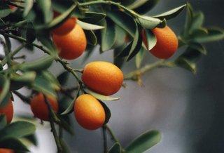 Zweig eines Orangenbaumes - Zitrus, Orange, Frucht, Früchte, Baum, Zweig, immergrün, Rautengewächs, Zitruspflanze