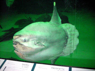 Mondfisch im Aquarium - Fisch, Mondfisch, Knochenfisch, hässlich, dick, groß, Flossen, schwimmen