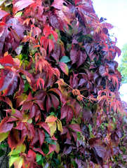 Selbstkletternde Jungfernrebe, wilder Wein #2 - Kletterpflanze, Selbstkletternde Jungfernrebe, wilder Wein, wild, Wein, Herbst, Laub, bunt, Herbstlaub, rot, Beeren, blau, Herbstfarben, Ranken, Herbstfarben, Weinrebe