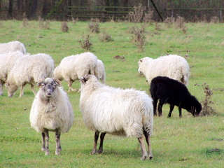 Schafe auf der Wiese - Haustier, Wolle, Schaf, Schafe, weich, Nutztier, weiden, Weide, Milch, Fleisch, Paarhufer, Wiederkäuer, schwarz, schwarzes Schaf, anders