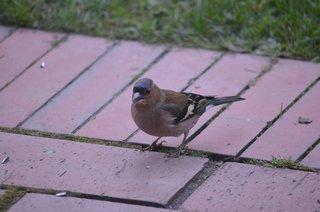 Buchfink Männchen - Vogel, Fink, Buchfink, Singvogel, Männchen, Edelfink, Fringilla coelebs