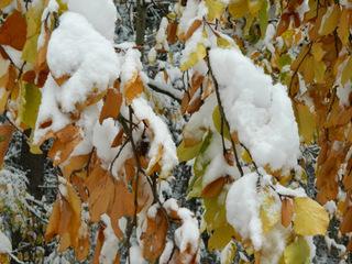 Herbst - Winter#1 - Herbst, Winter, Laub, Schnee, Blatt, Blätter, gelb, orange, weiß, Wetter, Wettererscheinung, Jahreszeit, bedeckt, Niederschlag