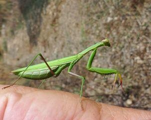 Gottesanbeterin #02 - Mantis religiosa, Gottesanbeterin, Fangschrecke, Insekten, Tracheentiere, Fluginsekt, Fangbeine