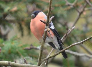 Dompfaff Männchen - Dompfaff, Gimpel, Blutfink, Pyrrhula pyrrhula, Sperlingsvogel, Singvogel, Finken, Stieglitzartige