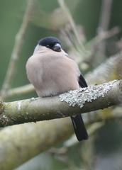 Dompfaff Weibchen - Dompfaff, Gimpel, Blutfink, Pyrrhula pyrrhula, Sperlingsvogel, Singvogel, Finken, Stieglitzartige
