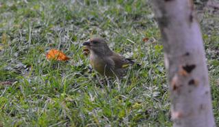 Grünfink - Grünfink, Grünling, Carduelis chloris, Singvogel, Sperlingsvogel, Finken, Vogel, Stieglitzartige, Zeisige