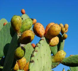 Feigenkaktus 02 - Kaktus, Kakteen, Opuntien, Feige, Frucht, exotisch, Ohrenkaktus, Feigenkaktus, Kaktusfeigen, Früchte, Sprossteile, Ohren, Stacheln