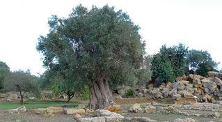 Ölbaum  #02 - Echter Ölbaum, Olea europaea, Nutzpflanze, immergrün, Stamm, Ölbaum, Olivenbaum, Italien, Sizilien, Agrigent, knorrig, krumm