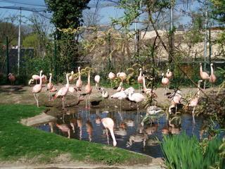 Flamingos - Flamingo, Biologie, rosa, Gruppe, Zoo, Teich